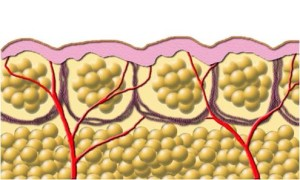 жировые клетки адипоциты